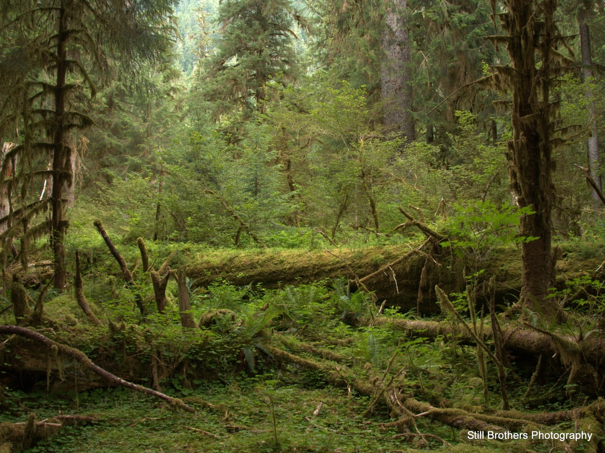 In the Shadow of Mount Olympus - The Hoh Rainforest